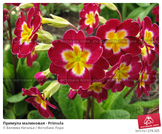 Примула малиновая - Primula, фото № 274325, снято 26 мая 2007 г. (c) Беляева Наталья / Фотобанк Лори