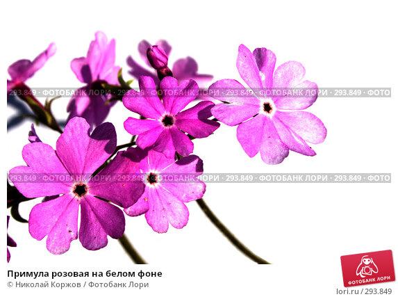 Купить «Примула розовая на белом фоне», фото № 293849, снято 18 мая 2008 г. (c) Николай Коржов / Фотобанк Лори