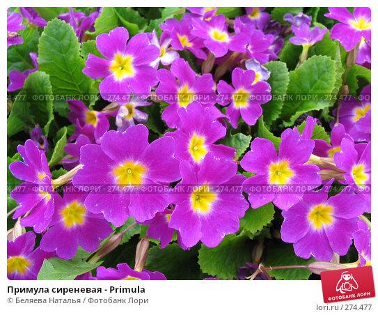 Примула сиреневая - Primula, фото № 274477, снято 31 мая 2006 г. (c) Беляева Наталья / Фотобанк Лори