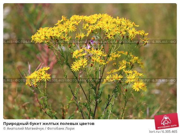Желтые полевые цветы в августе