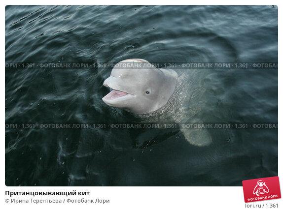 Пританцовывающий кит, эксклюзивное фото № 1361, снято 15 сентября 2005 г. (c) Ирина Терентьева / Фотобанк Лори