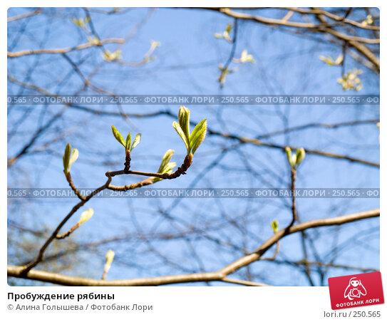 Пробуждение рябины, эксклюзивное фото № 250565, снято 12 апреля 2008 г. (c) Алина Голышева / Фотобанк Лори