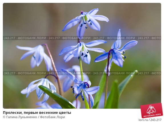 Пролески, первые весенние цветы, фото № 243217, снято 5 апреля 2008 г. (c) Галина Лукьяненко / Фотобанк Лори