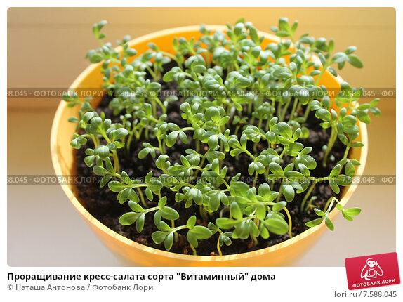 Разновидность кресс салатов фото