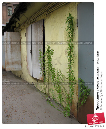 Проросшие сквозь асфальт топольки, фото № 274945, снято 1 мая 2008 г. (c) Заноза-Ру / Фотобанк Лори