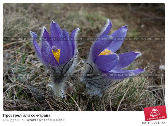 Купить «Прострел или сон-трава», фото № 271185, снято 6 мая 2007 г. (c) Андрей Пашкевич / Фотобанк Лори
