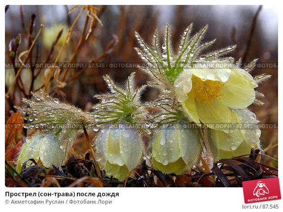 Прострел (сон-трава) после дождя, фото № 87545, снято 21 октября 2016 г. (c) Ахметсафин Руслан / Фотобанк Лори