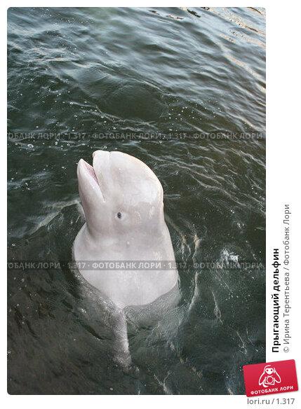 Прыгающий дельфин, эксклюзивное фото № 1317, снято 15 сентября 2005 г. (c) Ирина Терентьева / Фотобанк Лори