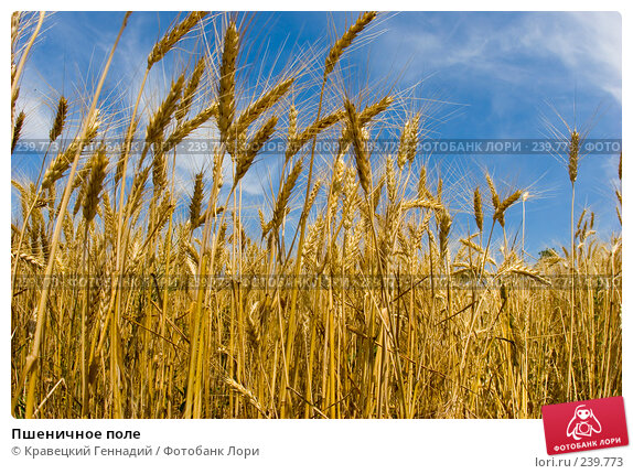 Купить «Пшеничное поле», фото № 239773, снято 17 декабря 2017 г. (c) Кравецкий Геннадий / Фотобанк Лори