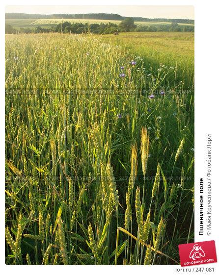 Пшеничное поле, фото № 247081, снято 20 июня 2007 г. (c) Майя Крученкова / Фотобанк Лори