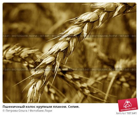 Пшеничный колос крупным планом. Сепия., фото № 187641, снято 11 июля 2007 г. (c) Петрова Ольга / Фотобанк Лори