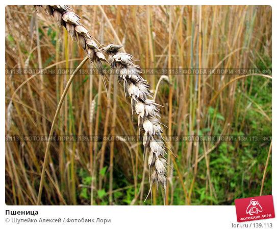 Пшеница, фото № 139113, снято 6 августа 2006 г. (c) Шупейко Алексей / Фотобанк Лори