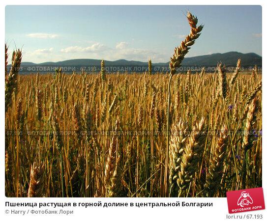 Пшеница растущая в горной долине в центральной Болгарии, фото № 67193, снято 30 июня 2004 г. (c) Harry / Фотобанк Лори