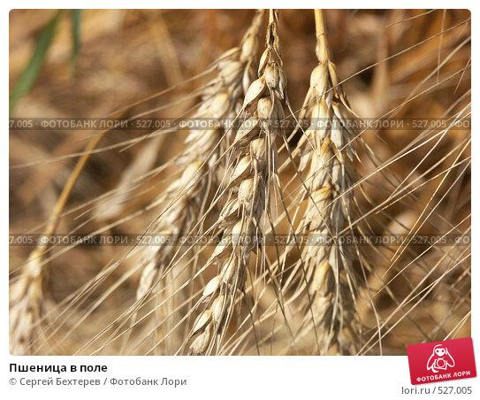 Пшеница в поле. Стоковое фото, фотограф Сергей Бехтерев / Фотобанк Лори