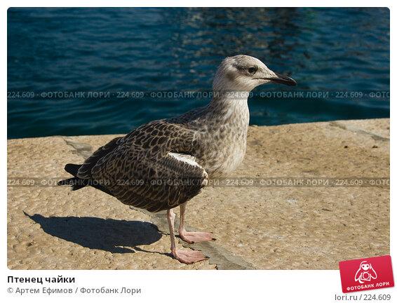 Птенец чайки, фото № 224609, снято 16 июля 2007 г. (c) Артем Ефимов / Фотобанк Лори