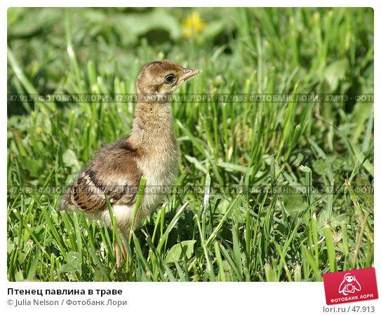 Птенец павлина в траве, фото № 47913, снято 20 мая 2007 г. (c) Julia Nelson / Фотобанк Лори