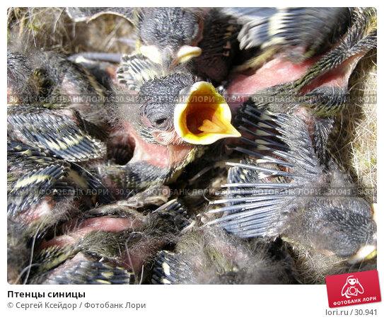 Купить «Птенцы синицы», фото № 30941, снято 5 июня 2006 г. (c) Сергей Ксейдор / Фотобанк Лори