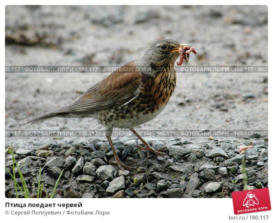 Купить «Птица поедает червей», фото № 180117, снято 9 июня 2005 г. (c) Сергей Попсуевич / Фотобанк Лори