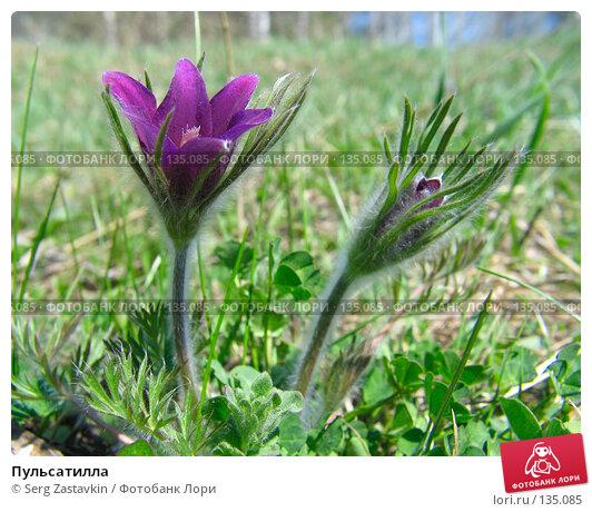 Пульсатилла, фото № 135085, снято 11 мая 2005 г. (c) Serg Zastavkin / Фотобанк Лори