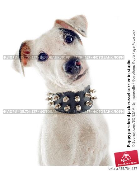 Puppy purebred jack russel terrier in studio. Стоковое фото, фотограф Zoonar.com/BONZAMI Emmanuelle / age Fotostock / Фотобанк Лори