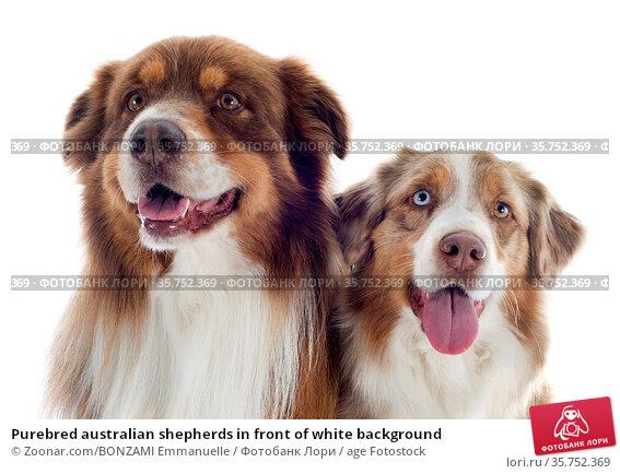Purebred australian shepherds in front of white background. Стоковое фото, фотограф Zoonar.com/BONZAMI Emmanuelle / age Fotostock / Фотобанк Лори