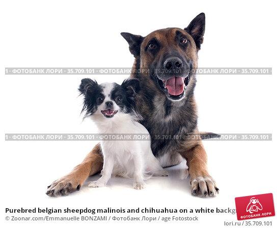 Purebred belgian sheepdog malinois and chihuahua on a white background. Стоковое фото, фотограф Zoonar.com/Emmanuelle BONZAMI / age Fotostock / Фотобанк Лори