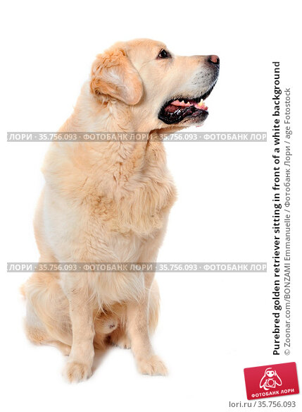 Purebred golden retriever sitting in front of a white background. Стоковое фото, фотограф Zoonar.com/BONZAMI Emmanuelle / age Fotostock / Фотобанк Лори