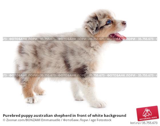 Purebred puppy australian shepherd in front of white background. Стоковое фото, фотограф Zoonar.com/BONZAMI Emmanuelle / age Fotostock / Фотобанк Лори