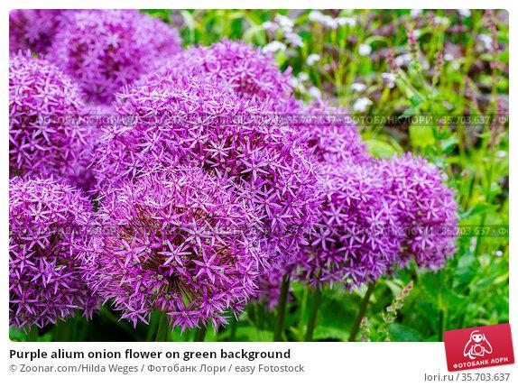 Purple alium onion flower on green background. Стоковое фото, фотограф Zoonar.com/Hilda Weges / easy Fotostock / Фотобанк Лори