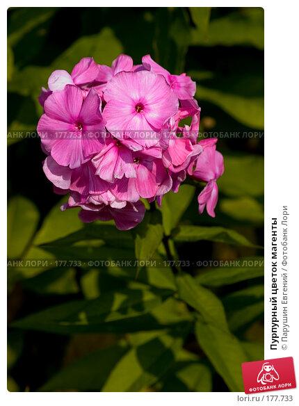 Пурпурный цветок магенты, фото № 177733, снято 23 мая 2017 г. (c) Парушин Евгений / Фотобанк Лори