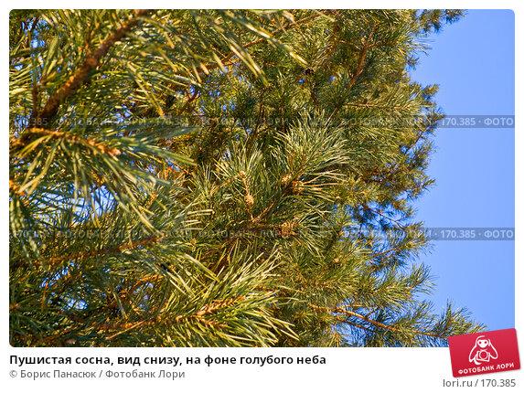 Пушистая сосна, вид снизу, на фоне голубого неба, фото № 170385, снято 2 января 2008 г. (c) Борис Панасюк / Фотобанк Лори