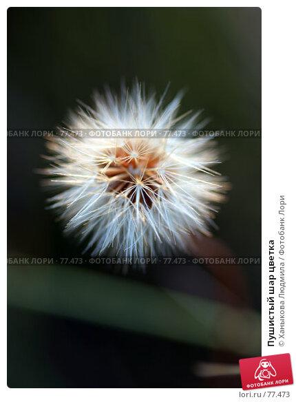 Пушистый шар цветка, фото № 77473, снято 21 августа 2007 г. (c) Ханыкова Людмила / Фотобанк Лори