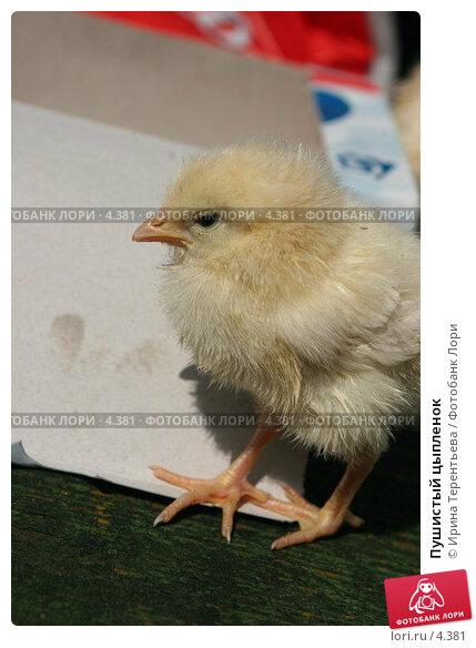 Пушистый цыпленок, эксклюзивное фото № 4381, снято 8 мая 2006 г. (c) Ирина Терентьева / Фотобанк Лори
