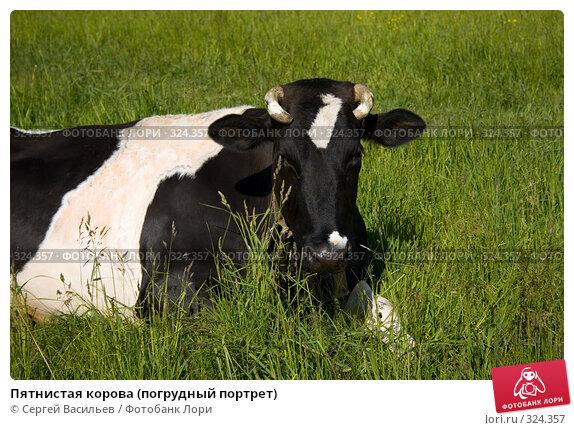 Пятнистая корова (погрудный портрет), фото № 324357, снято 13 июня 2008 г. (c) Сергей Васильев / Фотобанк Лори