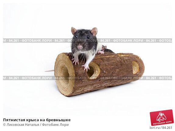 Пятнистая крыса на бревнышке, фото № 84261, снято 15 сентября 2007 г. (c) Лисовская Наталья / Фотобанк Лори