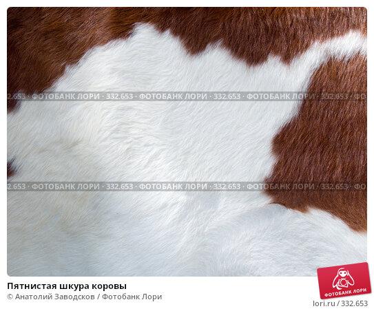 Пятнистая шкура коровы, фото № 332653, снято 6 июня 2008 г. (c) Анатолий Заводсков / Фотобанк Лори