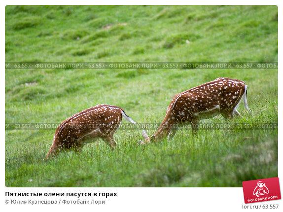 Купить «Пятнистые олени пасутся в горах», фото № 63557, снято 5 июня 2007 г. (c) Юлия Кузнецова / Фотобанк Лори