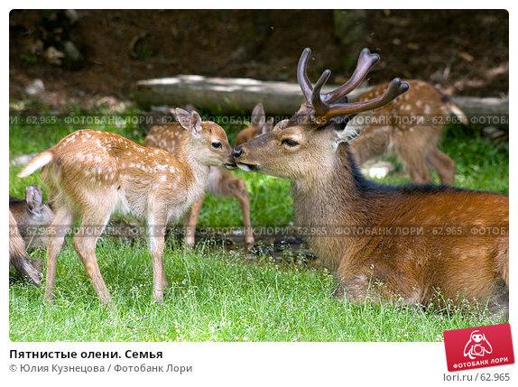 Пятнистые олени. Семья, фото № 62965, снято 5 июня 2007 г. (c) Юлия Кузнецова / Фотобанк Лори