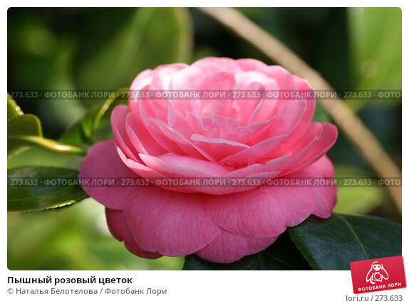 Пышный розовый цветок, фото № 273633, снято 3 мая 2008 г. (c) Наталья Белотелова / Фотобанк Лори