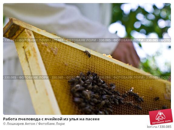 Работа пчеловода с ячейкой из улья на пасеке, фото № 330085, снято 21 сентября 2017 г. (c) Лошкарев Антон / Фотобанк Лори
