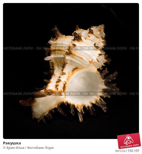 Купить «Ракушка», фото № 150197, снято 26 ноября 2007 г. (c) Ерин Илья / Фотобанк Лори