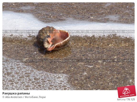 Ракушка рапаны, фото № 78125, снято 10 мая 2006 г. (c) Alla Andersen / Фотобанк Лори