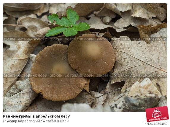 Ранние грибы в апрельском лесу, фото № 250069, снято 12 апреля 2008 г. (c) Федор Королевский / Фотобанк Лори