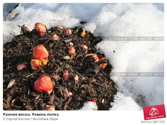 Купить «Ранняя весна. Ревень полез.», фото № 267113, снято 26 апреля 2008 г. (c) Сергей Костин / Фотобанк Лори