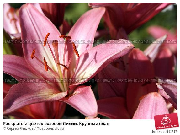 Раскрытый цветок розовой Лилии. Крупный план, фото № 186717, снято 22 июля 2007 г. (c) Сергей Лешков / Фотобанк Лори