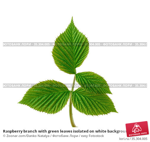 Raspberry branch with green leaves isolated on white background, young... Стоковое фото, фотограф Zoonar.com/Danko Natalya / easy Fotostock / Фотобанк Лори