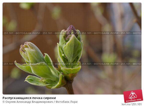 Распускающаяся почка сирени, фото № 251101, снято 13 апреля 2008 г. (c) Окунев Александр Владимирович / Фотобанк Лори