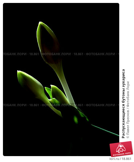 Распускающиеся бутоны эухариса, фото № 18861, снято 20 ноября 2006 г. (c) Павел Преснов / Фотобанк Лори