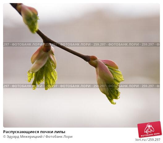 Распускающиеся почки липы, фото № 259297, снято 19 апреля 2008 г. (c) Эдуард Межерицкий / Фотобанк Лори