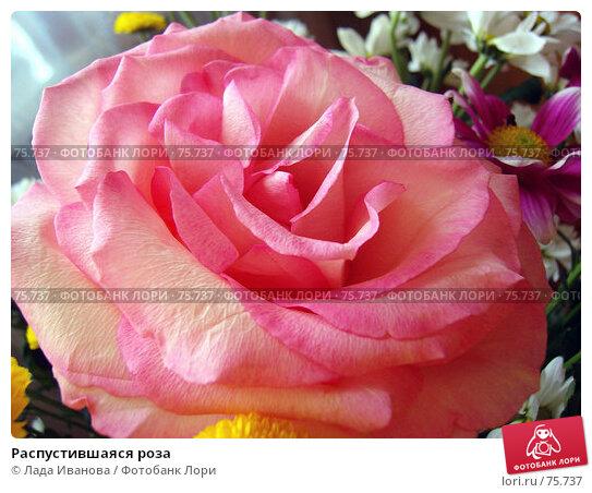 Распустившаяся роза, фото № 75737, снято 29 апреля 2006 г. (c) Лада Иванова / Фотобанк Лори